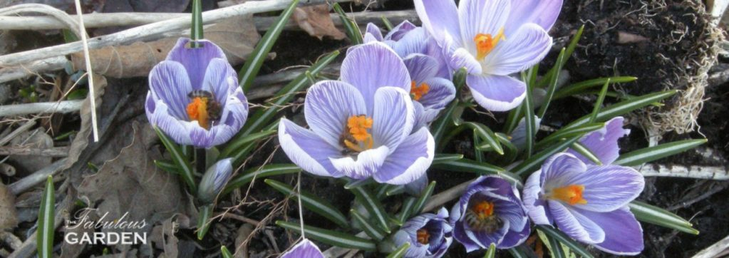 Bees in purple and white striped crocus