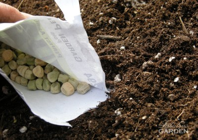 pea seeds and soil