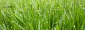 close up of grass lawn