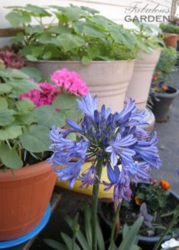 agapanthus and other potted plants