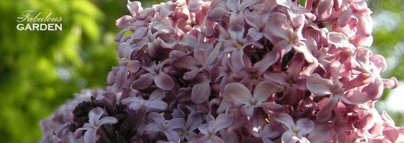How do I prune my lilacs?