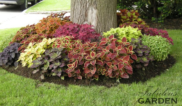 multiple varieties of coleus planted under a tree