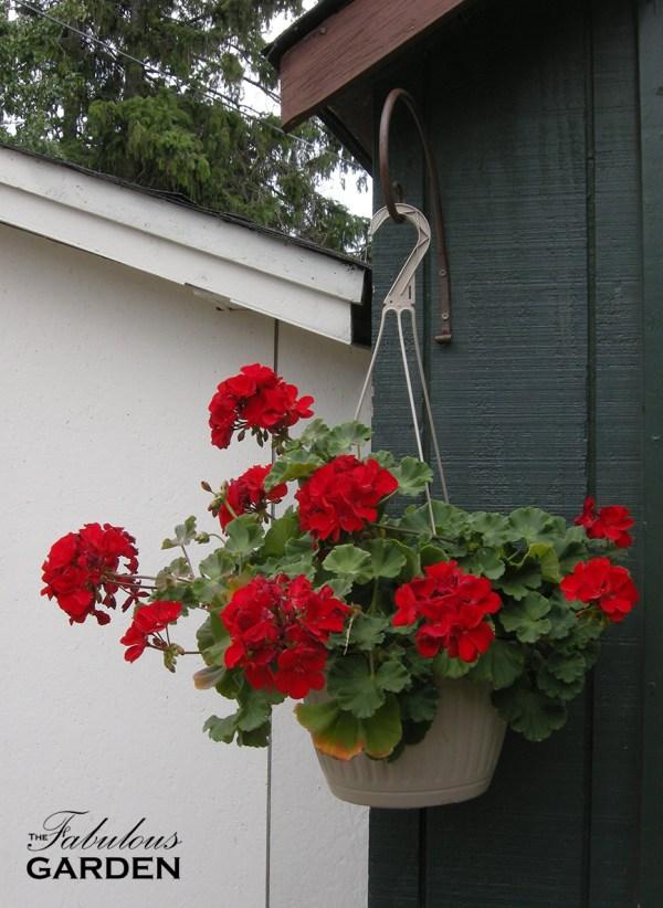 geranium in hanging plastic pot