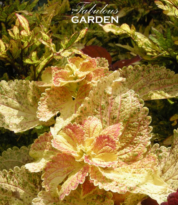 Coleus in shades of lemon and strawberry