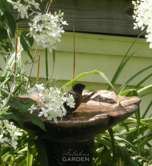 Robin bathes amidst hydrangea blooms