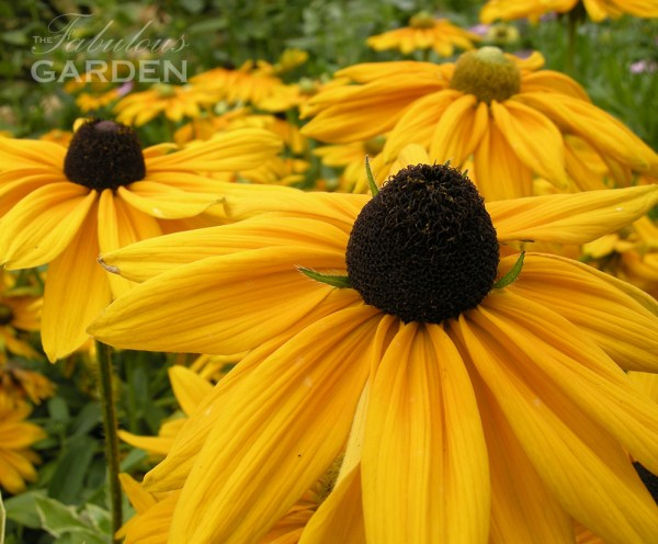 Rudbeckia with brown centre