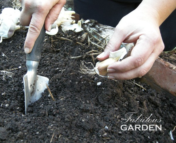 Digging a hole to plant a garlic clove