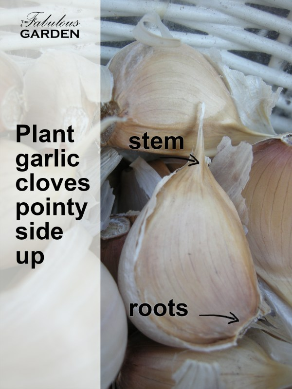 Plant garlic cloves pointy side up