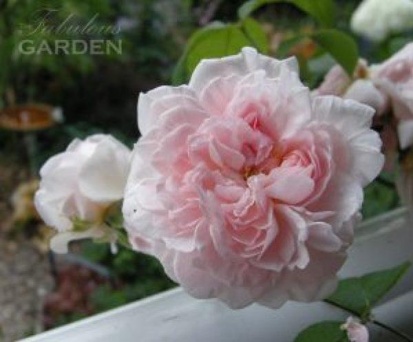 Rosa eglantyne (David Austin)