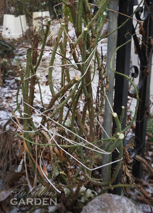 Rosebush tied with string