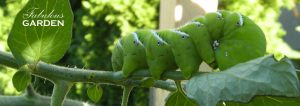 Manduca sexta tobacco hornworm on tomato