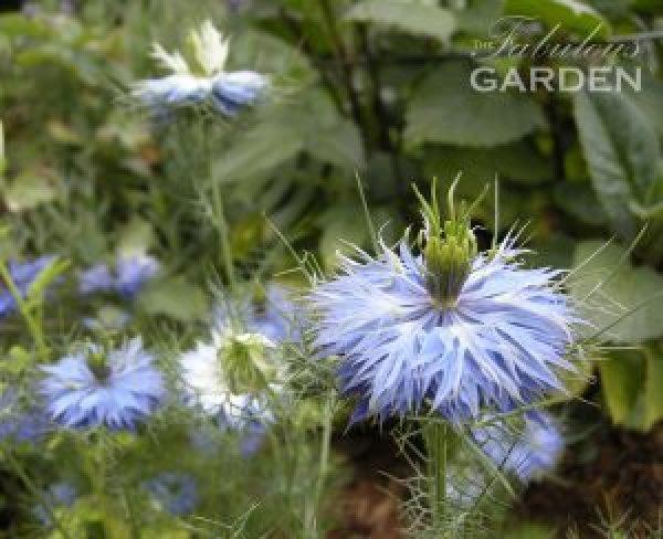 Nigella growing together in the garden