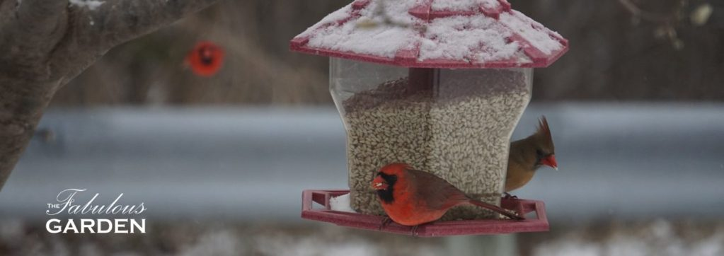 Cardinals love backyard bird feeders