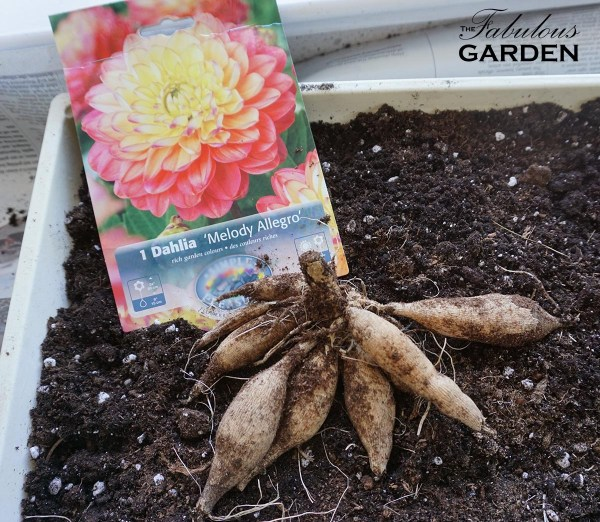 Dahlias Are Easy To Grow And Now Is The Time Plant Them The