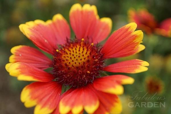 Gaillardia at Whistling Gardens