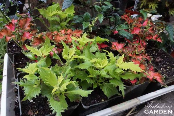 Grow a tray of coleus for your garden with cuttings from an overwintered plant