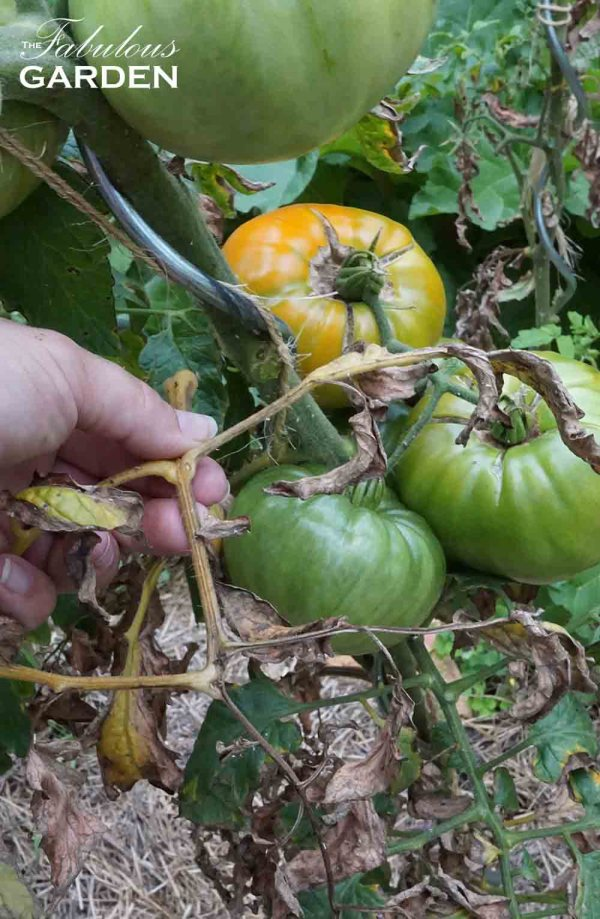 Remove diseased leaves from tomatoes as they aren't helping the plant any more
