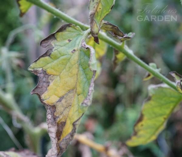 Verticillium wilt on a tomato leaf