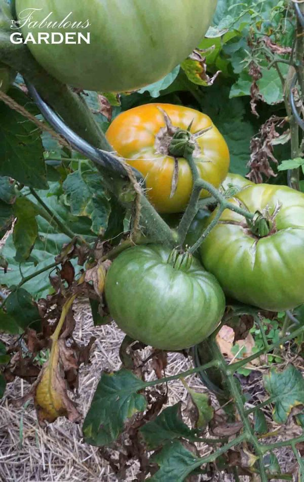 Heirloom tomatoes on a plant that's struggling with some leaf issues