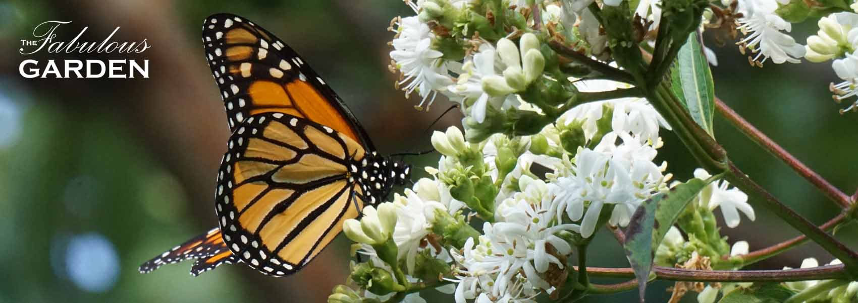 Monarch butterflies love this fall blooming tree