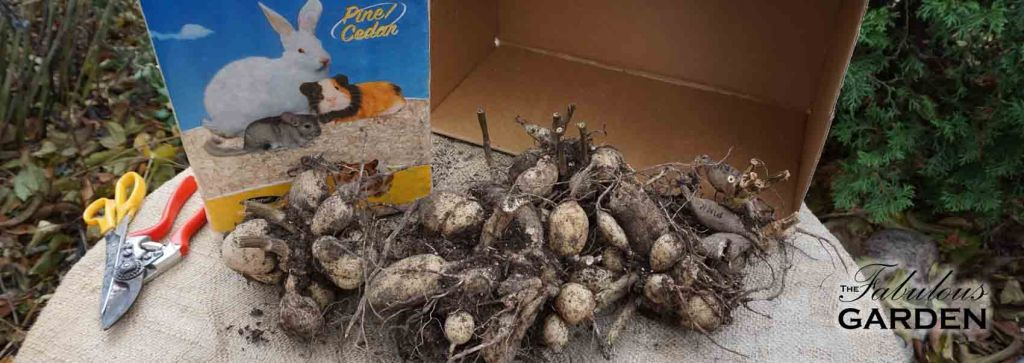 Storing Tubers For The Winter