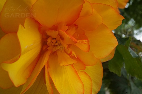 How to grow tuberous begonias