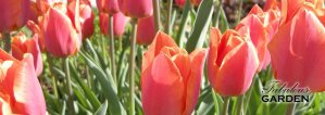 How to get your tulips to bloom again