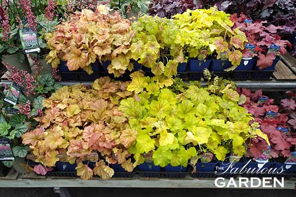How to grow Heuchera (aka Coral Bells)
