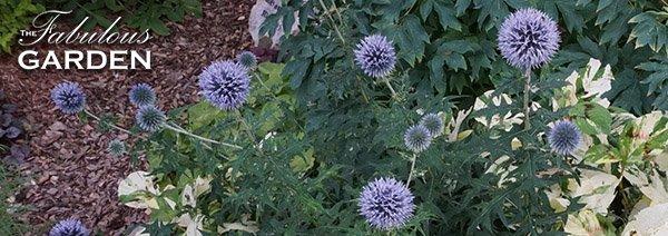 Plant profile: Echinops