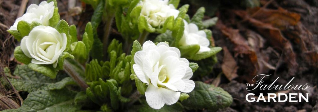 How to divide and multiply spring blooming primula