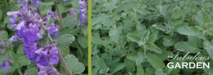 Plant Profile: Catmint (Nepeta). While often confused with its cousin, catnip, catmint will not have every cat in the neighbourhood visiting your garden.