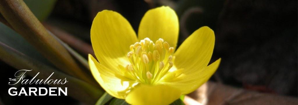 Plant profile: Winter Aconite (Eranthis hyemalis)
