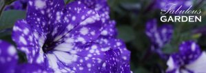 Plant profile: Night Sky Petunia