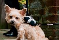 dog-ringbearer
