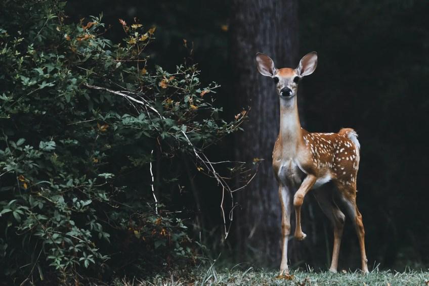 Deer in Ireland