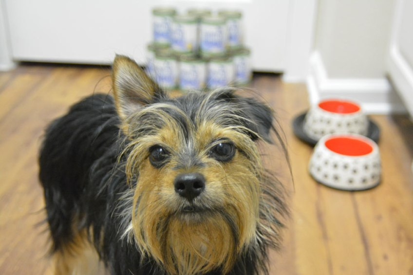 harmful contaminants in pet food, natural balance, noreen, yorkie