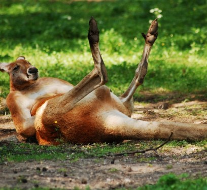 kangaroo-things to do in gold coast