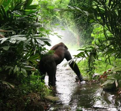 gorilla trekking in Bwindi National Park