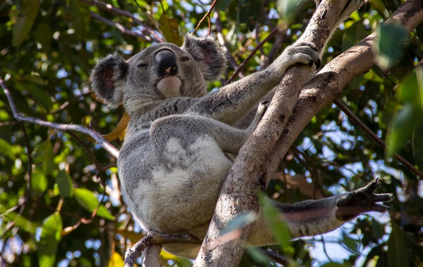 koala bear, Queensland Australia