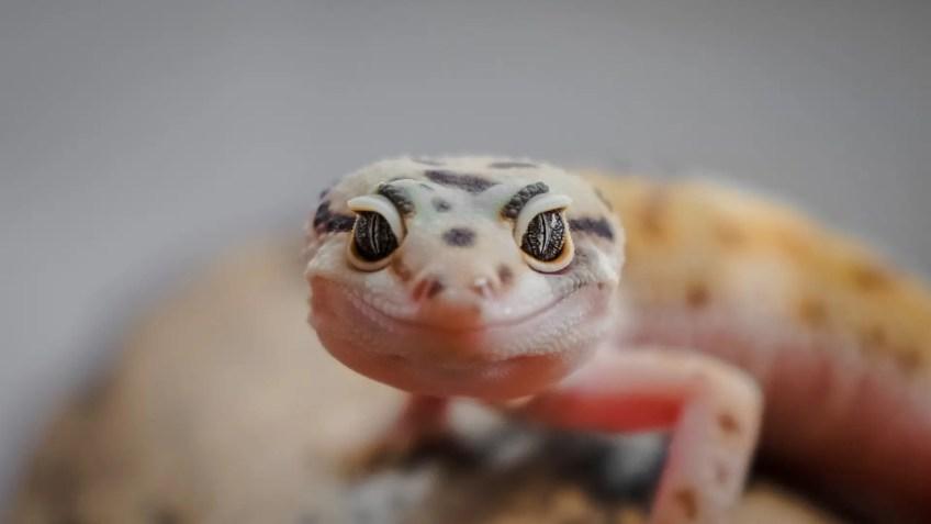 pet care, exotic animals, lizard