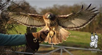 Flying Redtail at The Falconry School