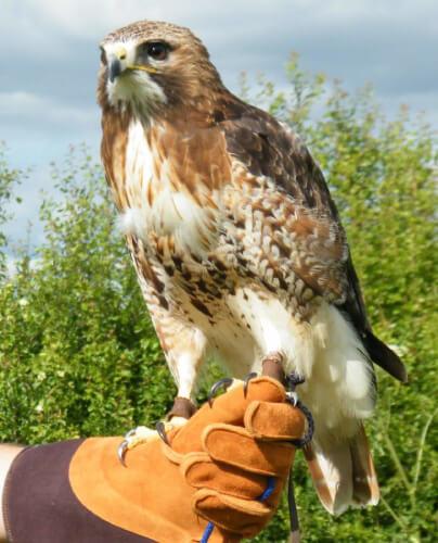 redtailed buzzard on glove