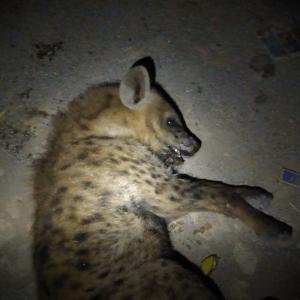 Single Shot: Poisoned Hyena