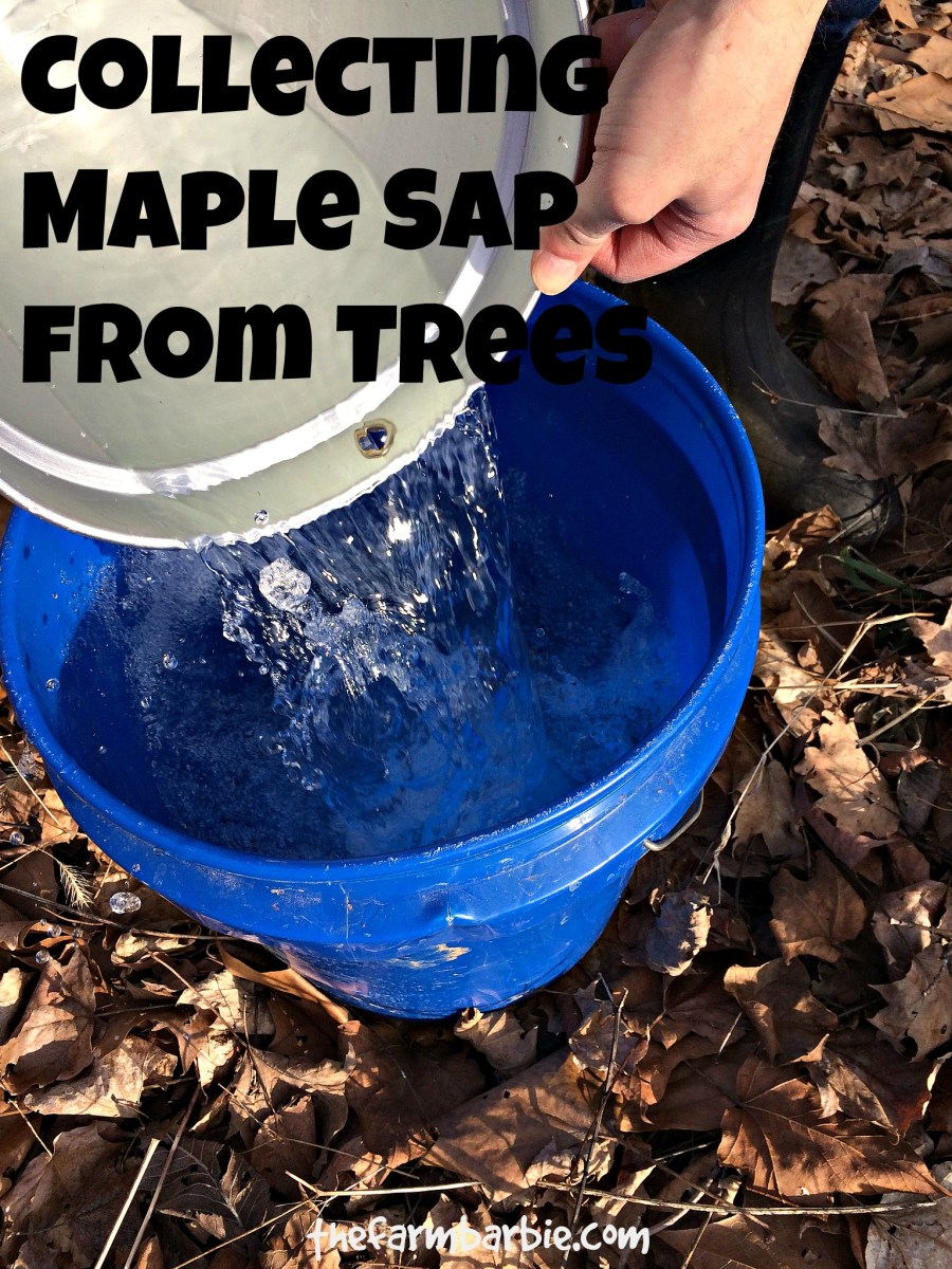 How To Tap Maple Trees & Make Homemade Maple Syrup