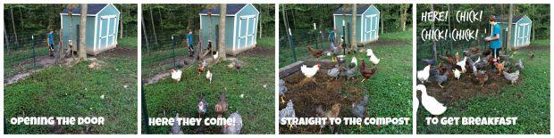 farm chore chicken 2