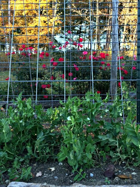 fall garden 6