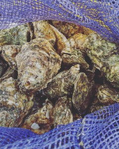 Rappahannock River Oysters