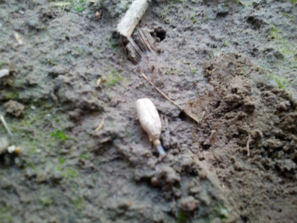 An aerial applied seed just starting to germinate in a standing corn crop.  Very cool!