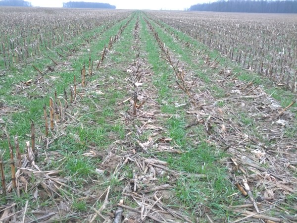 Ryegrass looking good.  I think we can get a thicker stand by seeding earlier next time.