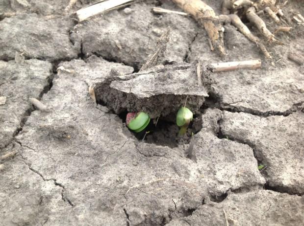 Soybeans Emergin
